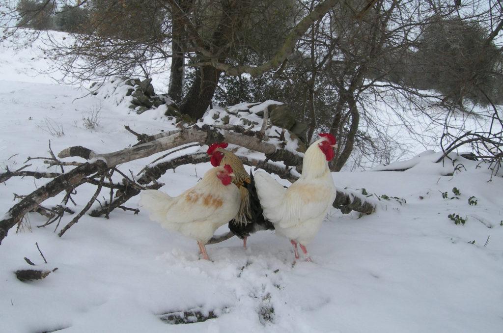 Galline in paesaggio invernale