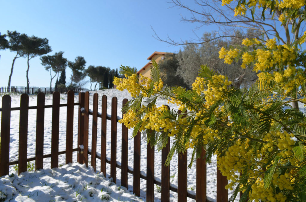 Mimosa, foto in inverno