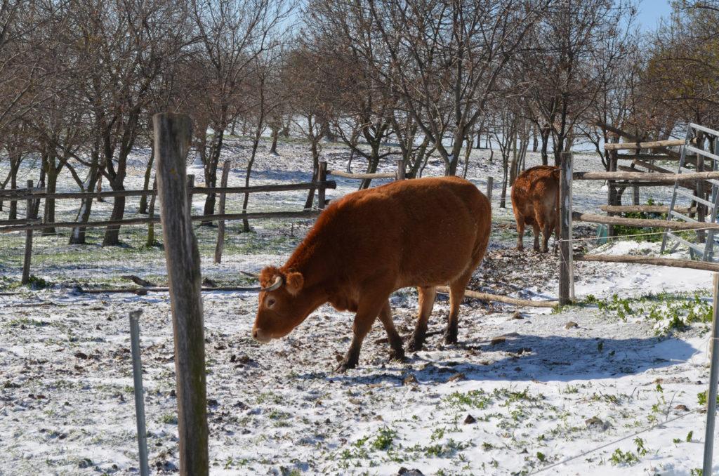 Mucche limousine, foto in inverno