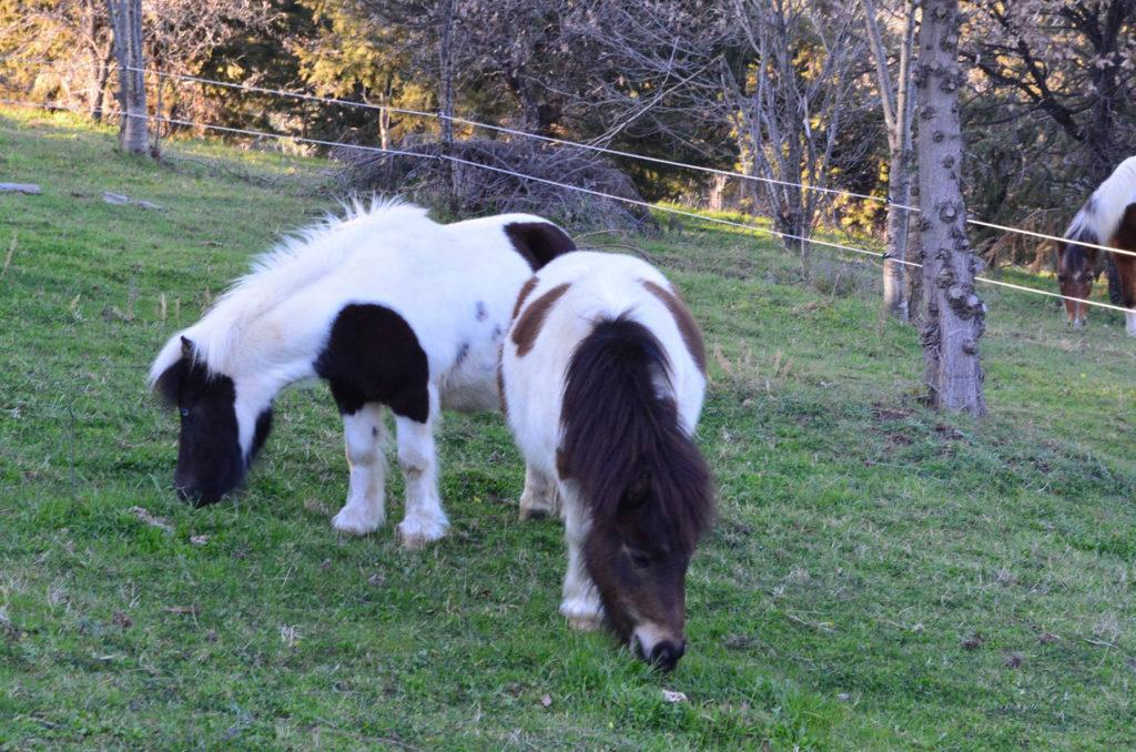 Due pony che mangiano l'erba