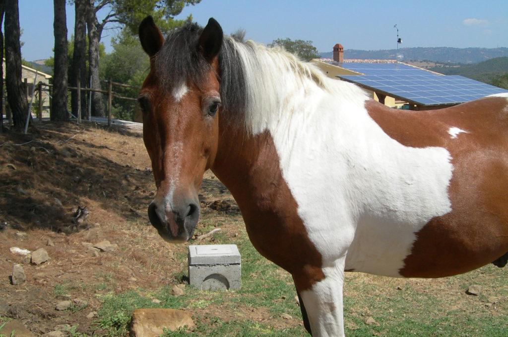 Cavallo foto frontale