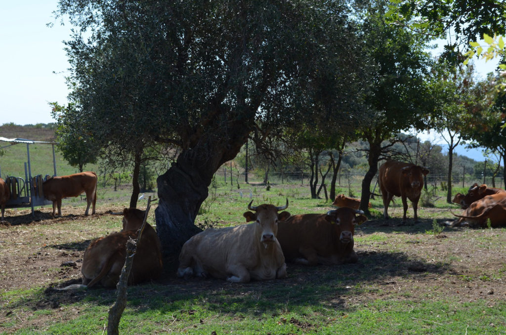 mucche limousine che riposano