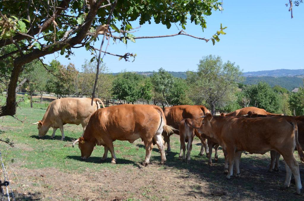 mucche limousine al pascolo